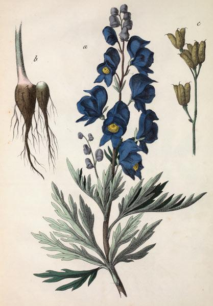 Common Monkshood / Hochstetter