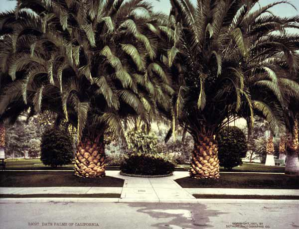 Date Palms / California / Photo / 1901