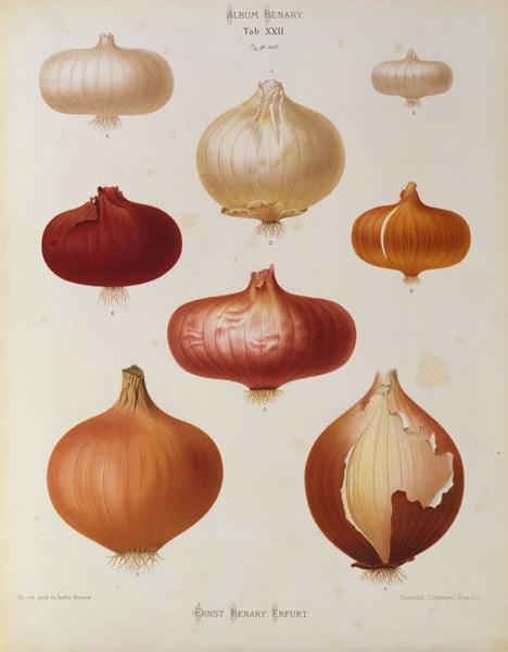 Onions / Album Benary / Lithograph