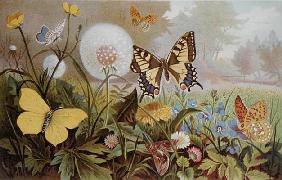Butterflies, illustration from an Hungarian natural history book, c.1900 (colour litho) 1844
