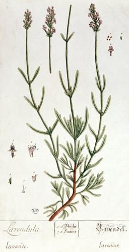 Lavender, plate from 'Herbarium Blackwellianum' by the artist 1757  &
