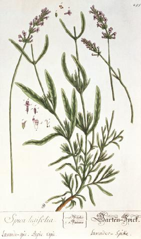 Lavender Spike, plate from 'Herbarium Blackwellianum' by the artist 1757  &