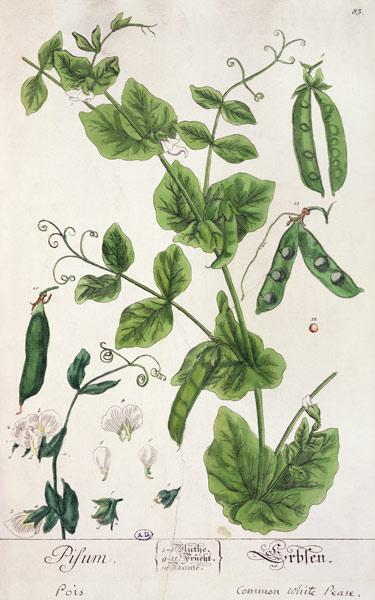 Pea, plate from 'Herbarium Blackwellianum' by the artist 1757-82