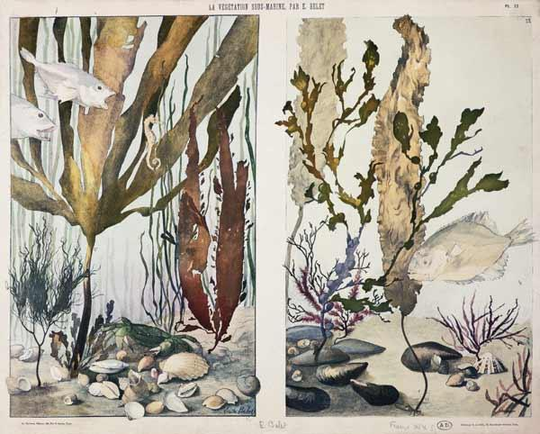 Seaweed, fishes, sea horse, crab and shellfish, illustrated plates from 'La Vie sous marine' late 19th