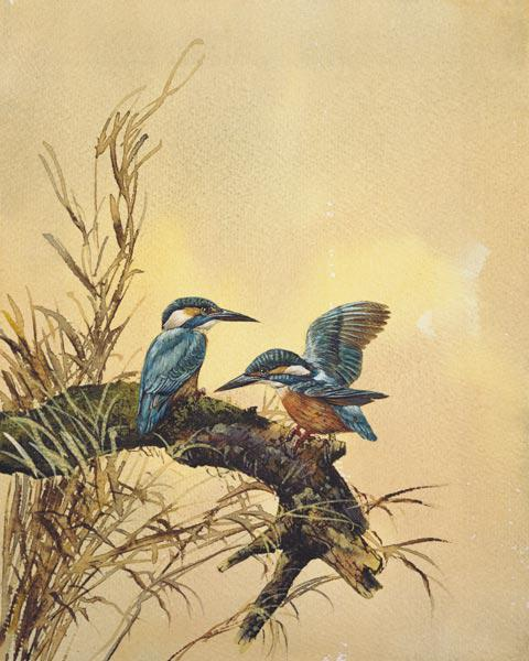 Kingfishers c.1890  on