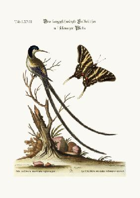 The long-tailed black-capped Hummingbird 1749-73