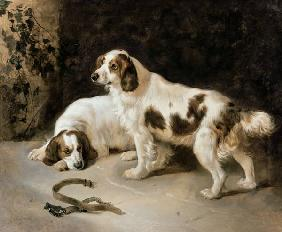Brittany Spaniels