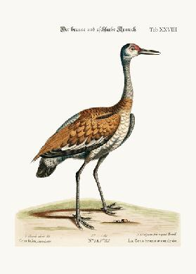 The Brown and Ash-coloured Crane 1749-73