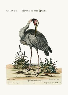 The greater Indian Crane 1749-73