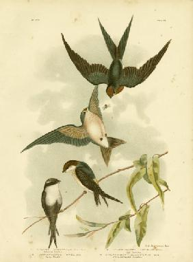 Welcome Swallow Or Pacific Swallow 1891
