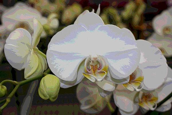 Orchidee 0046 harald albrecht als kunstdruck oder handgemaltes gem lde - Wandfarbe orchidee ...