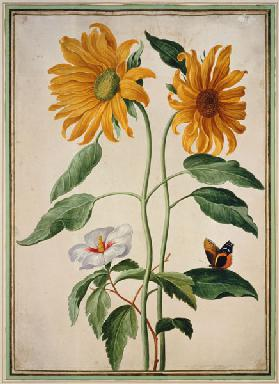 Sunflowers plate 18 from the Nassau Florilegium on  c.plate 1