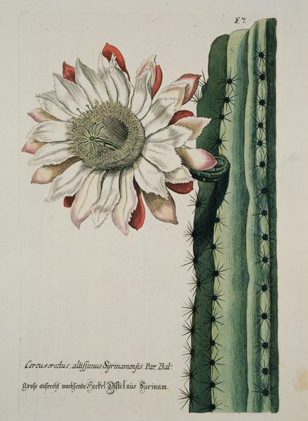 Cereus Erectus Altissimus Syrinamensis from 'Phythanthoza Iconographica' published in Germany 1737-45