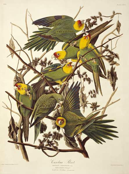 Carolina Parakeet, from 'Birds of America' 1829