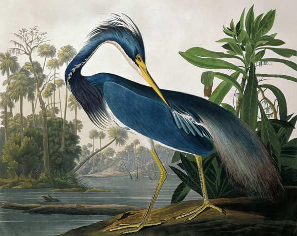 Louisiana Heron, from 'Birds of America', engraved by Robert Havell (1793-1878) 1834 (coloured engra 1927
