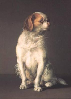 Portrait of a King Charles Spaniel
