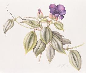 Glory Flower (Tibouchina Urvilleana) 1999 (w/c on paper)
