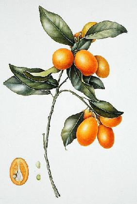 Kumquat, 1996 (w/c on paper)