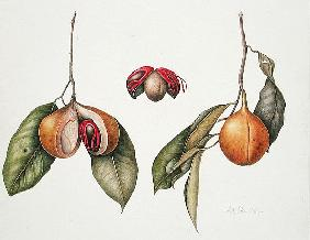 Nutmeg (Myristica fragrans) 2004 (w/c on paper)