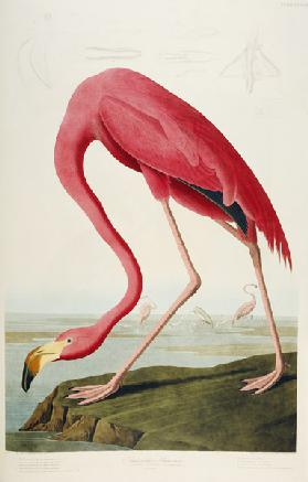American Flamingo. Tafel 87 aus 'The Birds of America' Robert Havell nach John James Audubon. 1838