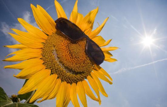 Bild: Patrick Pleul - Sonnenblume mit Sonnenbrille