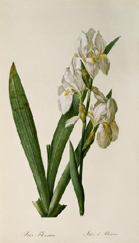 Iris Florentina, from `Les Liliacees'