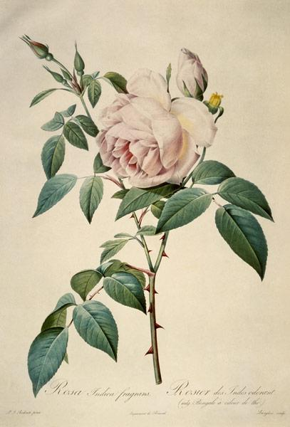 Rosa chinensis and Rosa gigantea, from 'Les Roses' 1817
