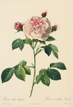 Rosa Alba Regalis, engraved by Bessin (coloured engraving)