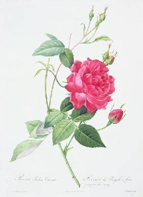 Rosa indica cruenta (blood-red Bengal rose), engraved by Langlois, from 'Les Roses' 1817-24 ou