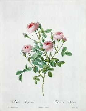 Rosa pomponia, engraved by Langlois, from 'Les Roses' 1817-24