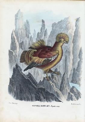 Cock-Of-The-Rock 1863-79
