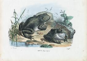 Common Toad 1863-79