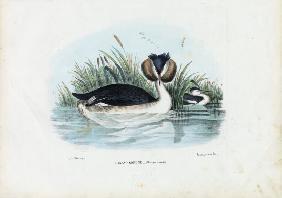 Crested Grebe 1863-79