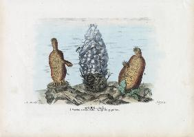Sea Squirts 1863-79
