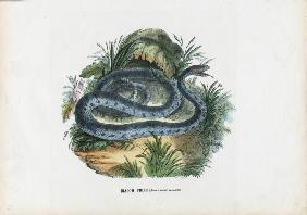 Snakes 1863-79