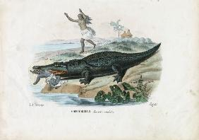 Spectacled Caiman 1863-79