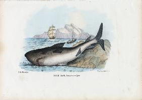 Spiny Dogfish 1863-79