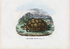 Spur-Thighed Tortoise 1863-79