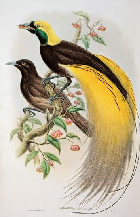 Bird of Paradise: Greater, Paradisaea Apoda Paradisaea